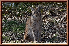 Lynx commun - lynx commun 32