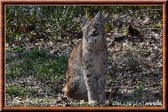 Lynx commun - lynx commun 33