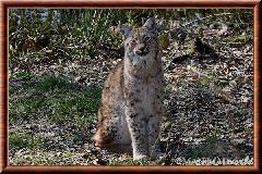Lynx commun - lynx commun 34