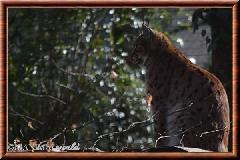 Lynx commun - lynx commun 35