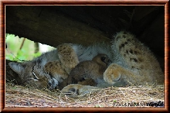 Lynx commun - lynx commun 49