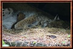 Lynx commun - lynx commun 38