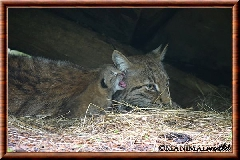 Lynx commun - lynx commun 39