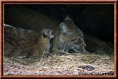 Lynx commun - lynx commun 40