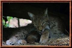 Lynx commun - lynx commun 43