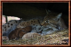 Lynx commun - lynx commun 44