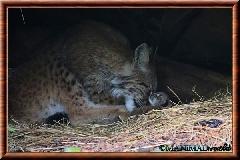 Lynx commun - lynx commun 46