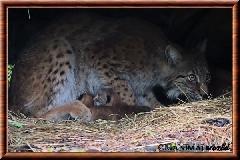 Lynx commun - lynx commun 47