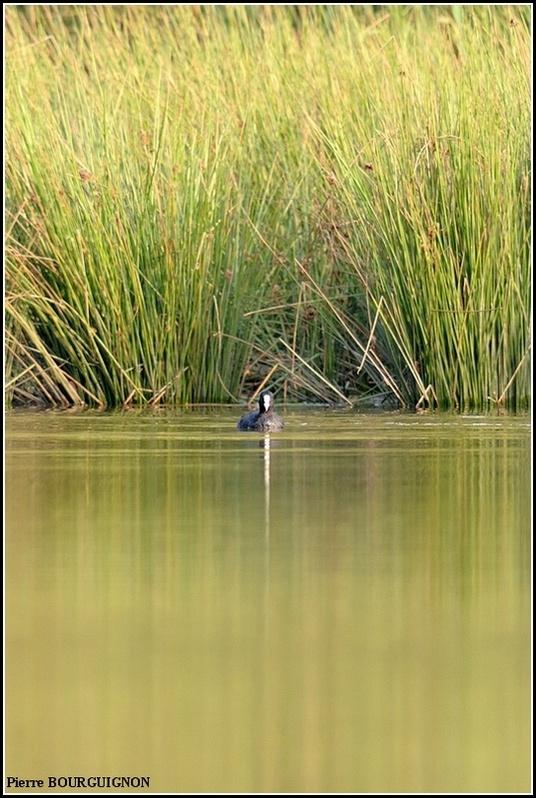 Foulque macroule (Fulica atra) par Pierre BOURGUIGNON, photographe animalier belge