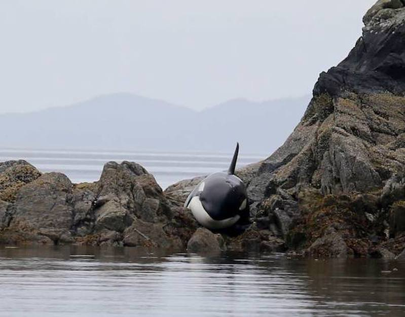 orque-echouee-sauvetage-3.
