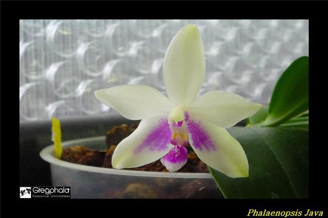 Phalaenopsis Java 16082911060617991314459733