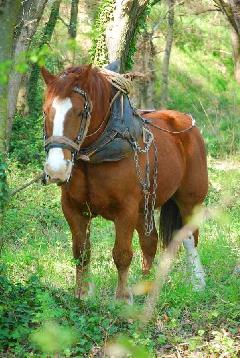 Album CAVAILLON Les chevaux de trait