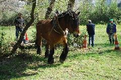 CAVAILLON Les chevaux de trait - 20151209180954-878cbebf