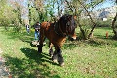 CAVAILLON Les chevaux de trait - 20151209181002-e65b6d2f