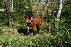 CAVAILLON Les chevaux de trait - 20151209181022-9c5e2c25