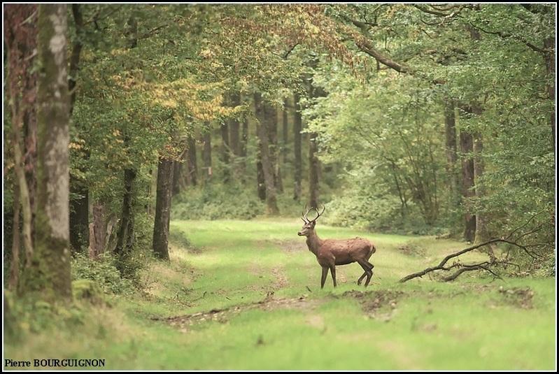Cerf élaphe (cervus elaphus) par Pierre BOURGUIGNON, photographe animalier / Belgique