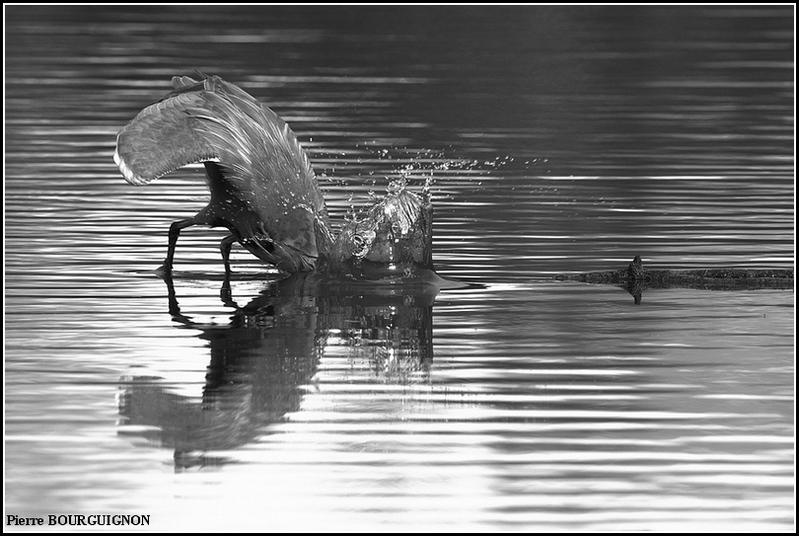 Photographie en noir et blanc par Pierre BOURGUIGNON, photographe animalier belge