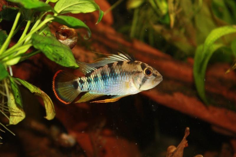 A.baenschi mâle