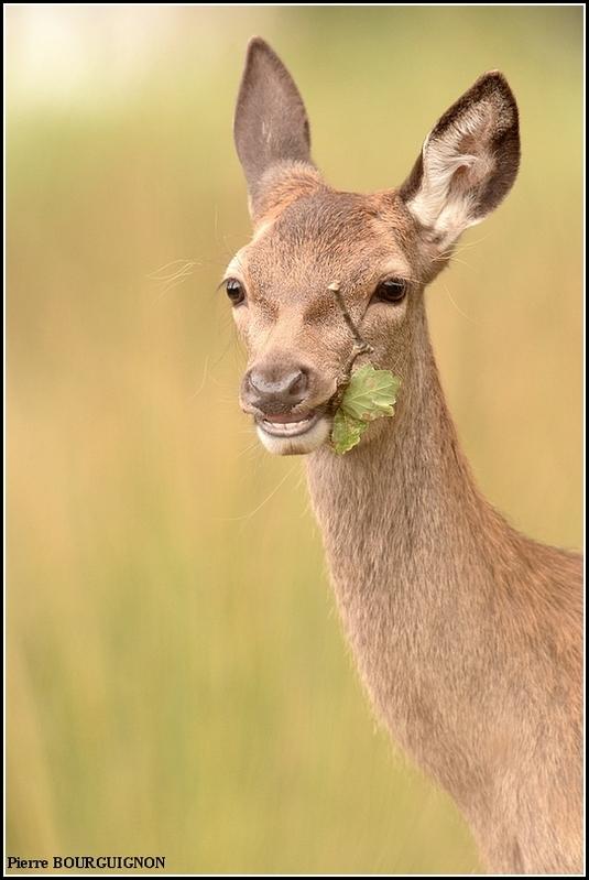 Cerf élaphe par Pierre BOURGUIGNON, photographe animalier, Belgique