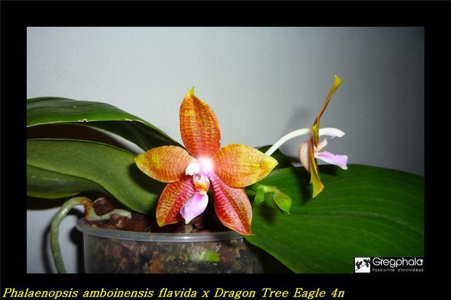 Phalaenopsis Dragon Tree Eagle 4n x amboinensis flavida et son opposé 16101402362517991314556073