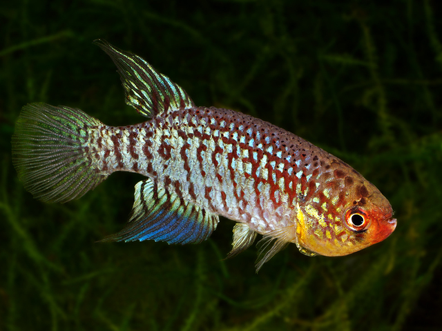 fwkillifishe1508674950 - Pap. habluetzeli -ABPV 13-7- Handpicked 40 Eggs