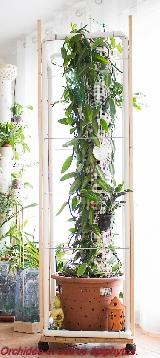 Vanilla planifolia variegata Mini_1611120151489707114631264