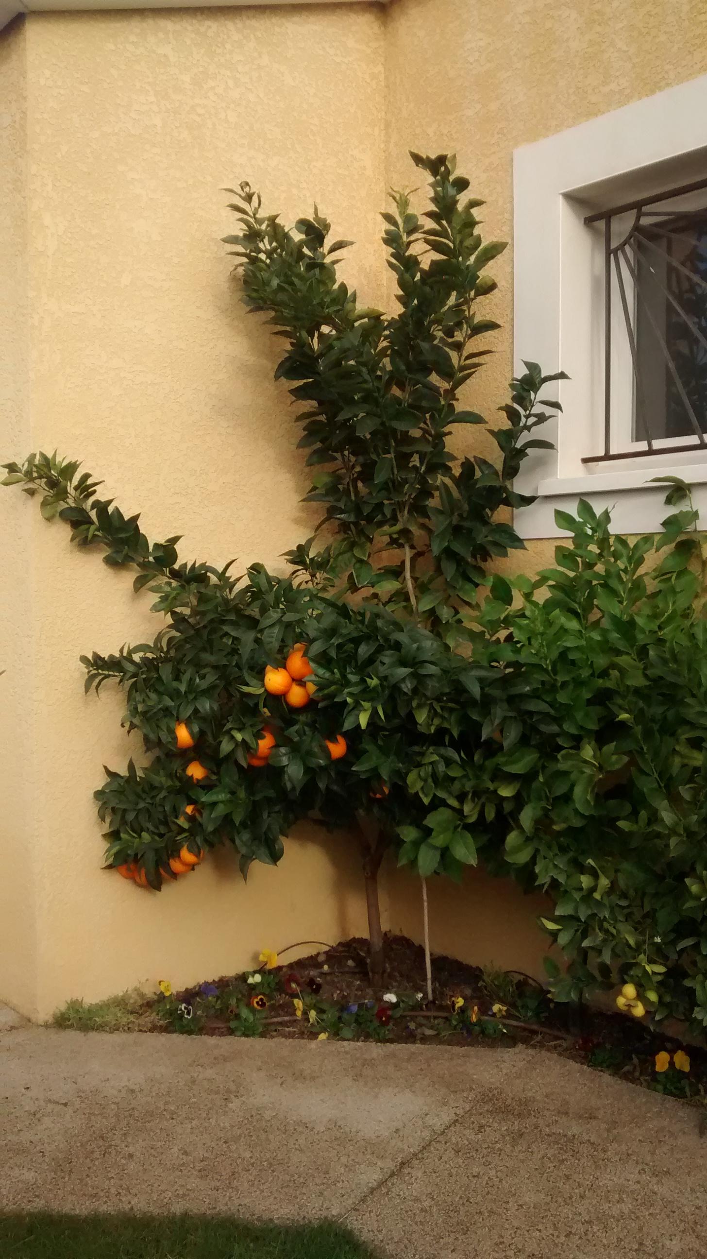 forum consulter le sujet taille de mon oranger. Black Bedroom Furniture Sets. Home Design Ideas