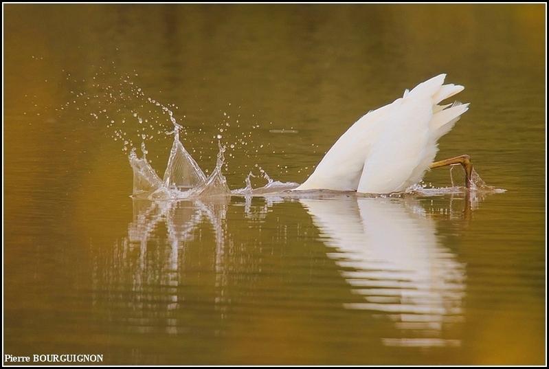 Grande aigrette (Ardea alba) par Pierre BOURGUIGNON, photographe animalier, Belgique