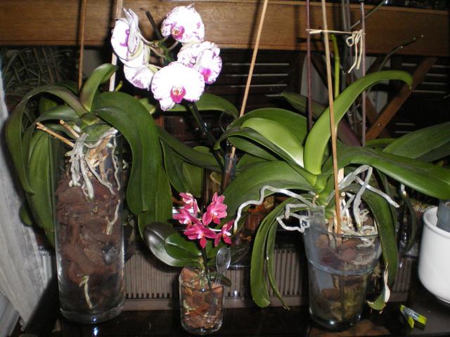 orchidée miniature  - Page 2 16120109110520151714674619