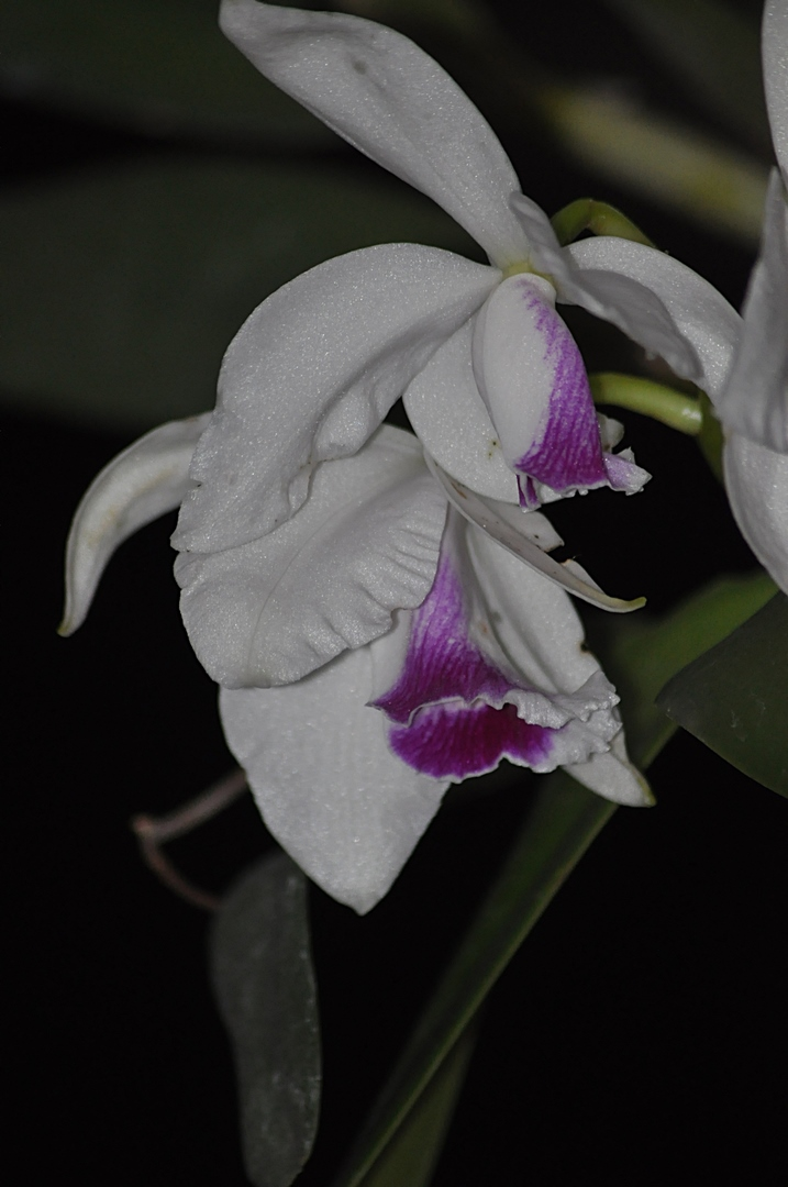 laelia purpurata carnea 16121811402715998014713579
