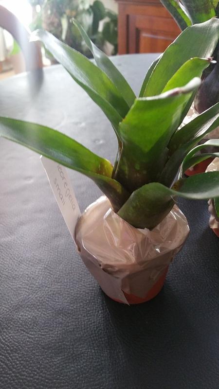Bromelias - Orchidés en VPC 17010902031722496414760709