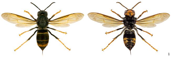 la graine indocile le frelon asiatique vespa velutina nigrithorax. Black Bedroom Furniture Sets. Home Design Ideas