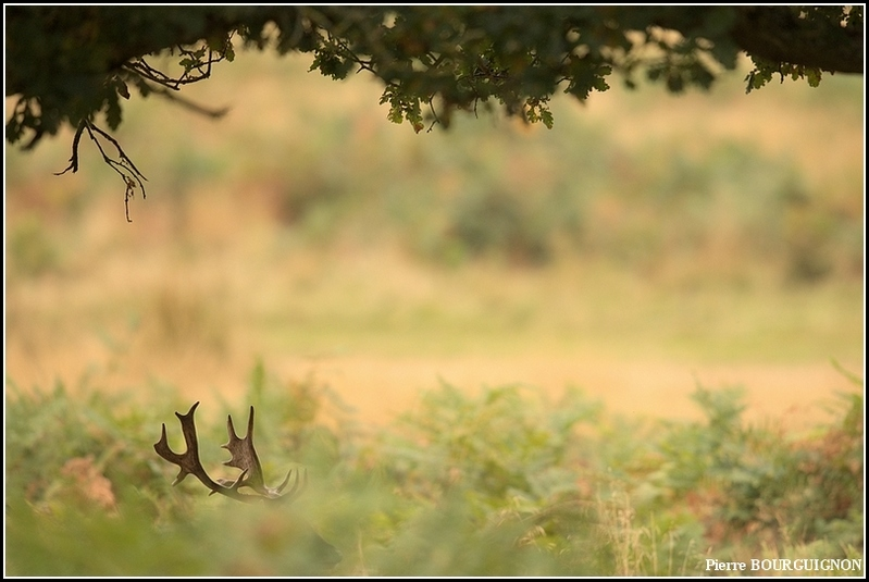 Daim européen (Dama dama) par Pierre BOURGUIGNON, photographe animalier, Belgique