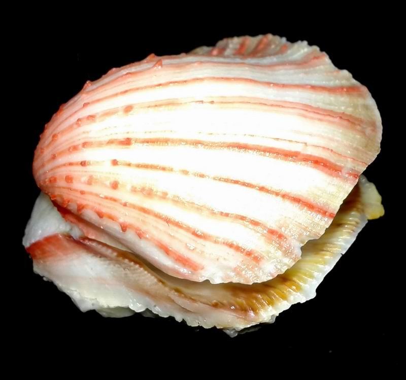 Spondylus anacanthus - Mawe, 1823  17020306443514587714822275