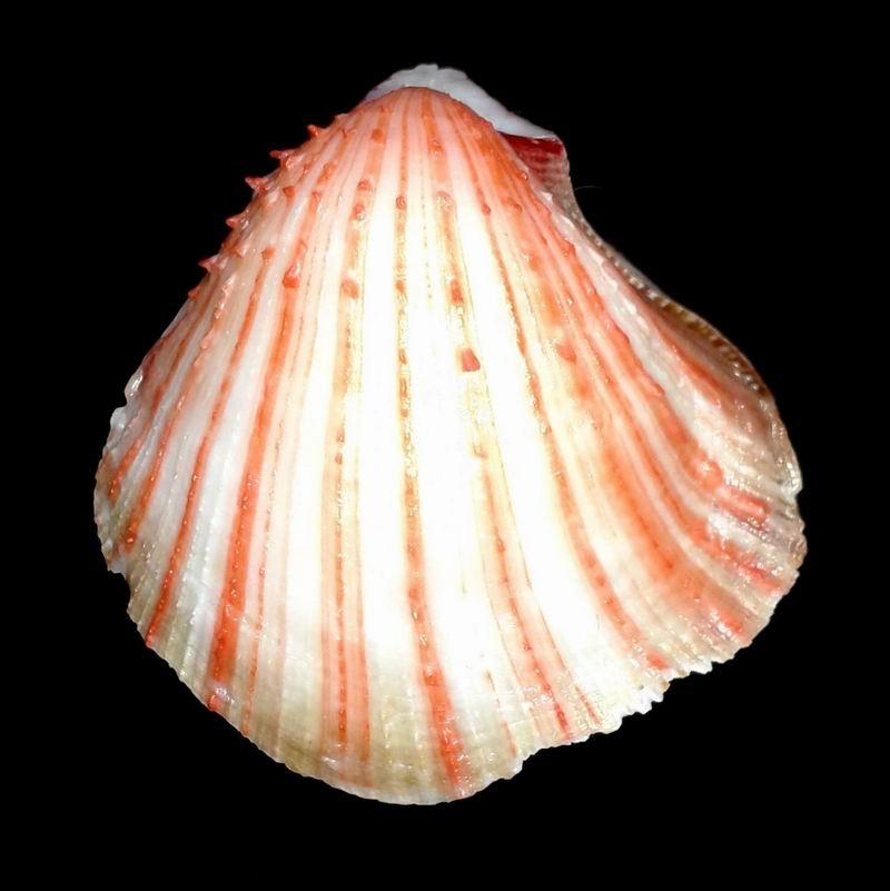 Spondylus anacanthus - Mawe, 1823  17020306443814587714822277